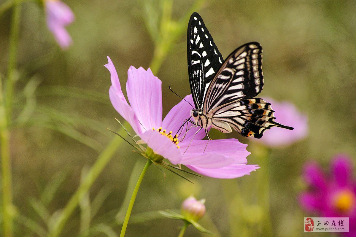 索尼@350拍蝴蝶-澳门大小点网址摄影