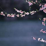 桃花盛开的大明边城
