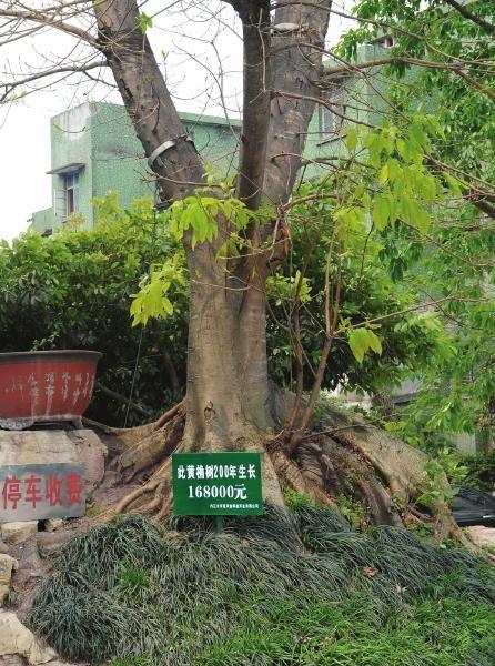 """内江宾馆现""""天价黄桷树"""""""