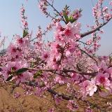 拍朵桃花给你看
