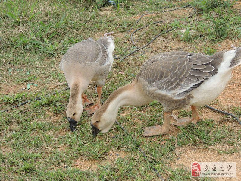 [原创]大亚湾乡村那一群可爱的鹅在草丛中寻美食图组