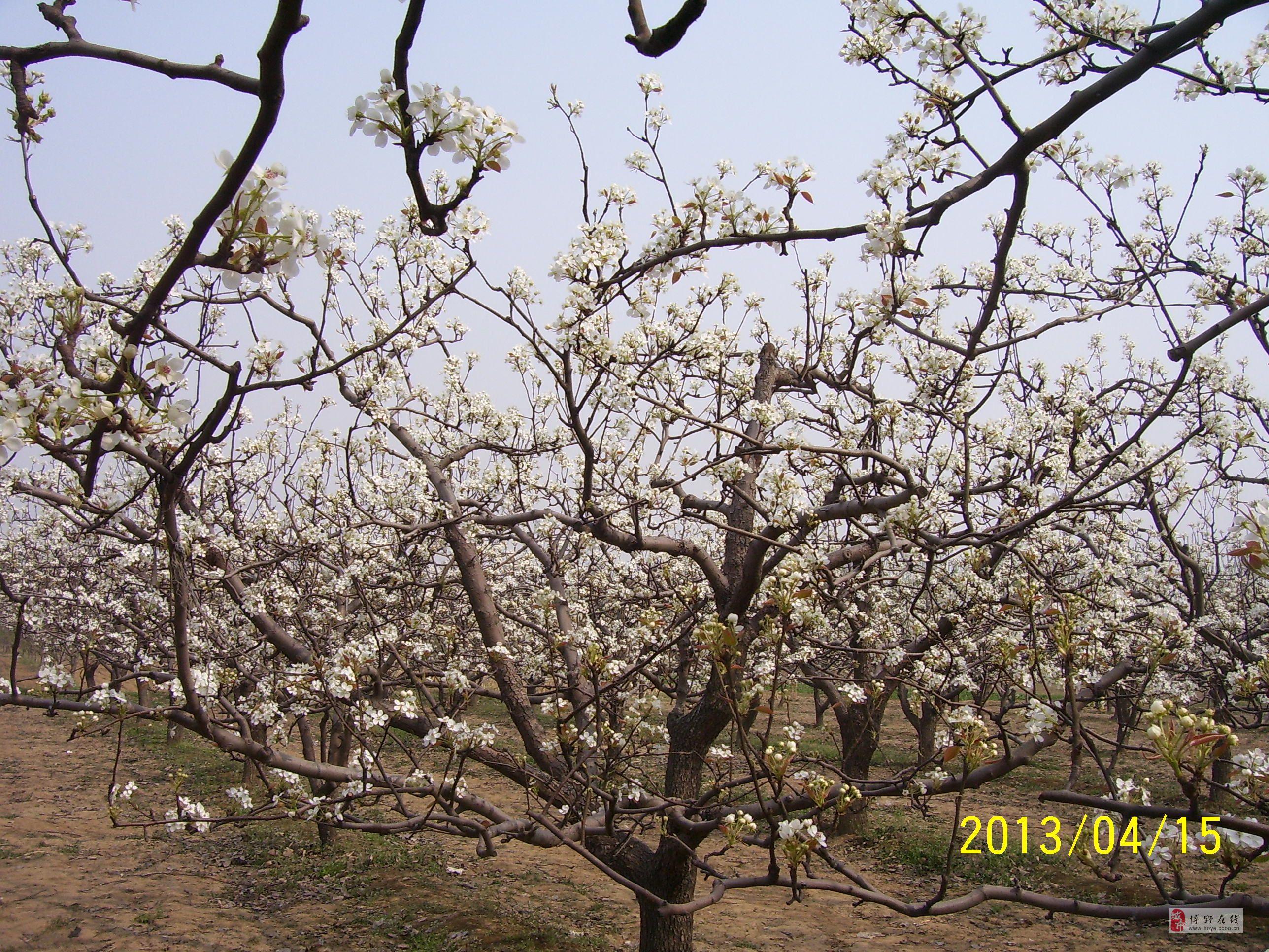 梨花朵朵开!