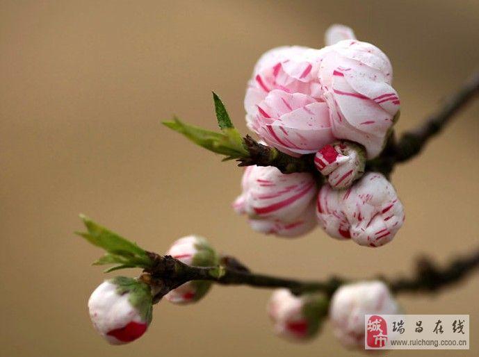罕见!双色桃花迎春风