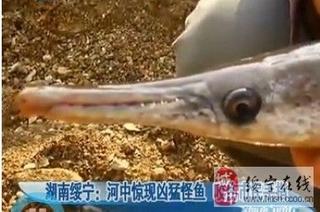 长铺子巫水河中惊现凶猛怪鱼