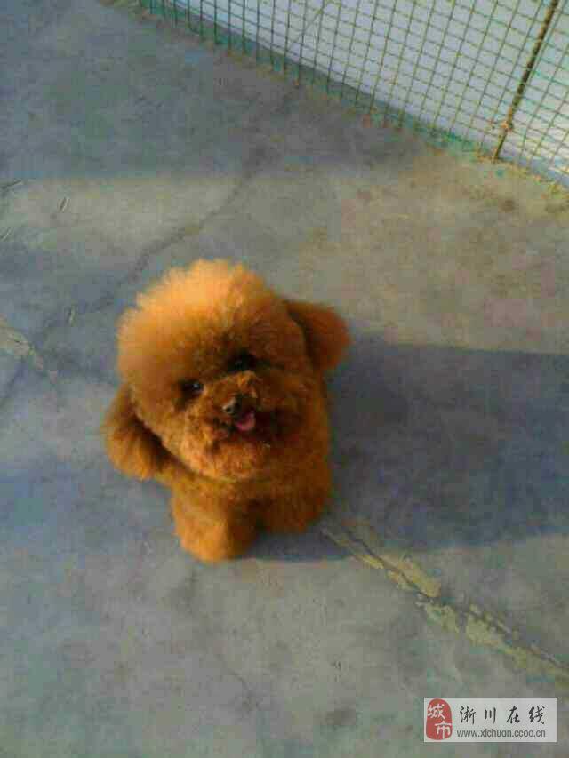 售泰迪,比熊幼犬,