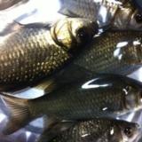 昨天钓的鱼