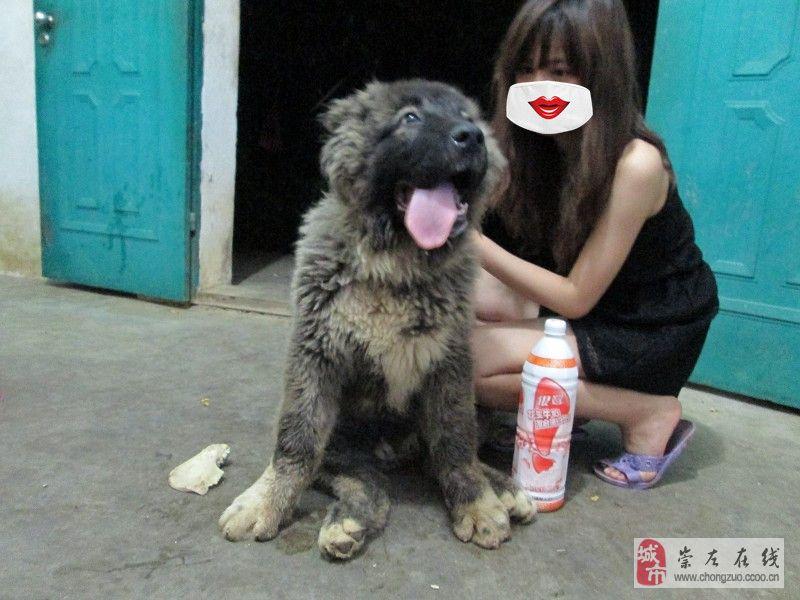 [原创]俄罗斯猛犬――高加索(图)