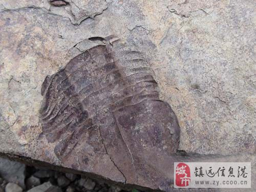 ��h�h尚寨疑似古生物化石有新�l�F