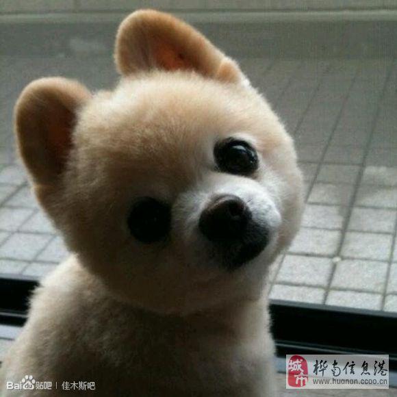 请问这种狗叫什么