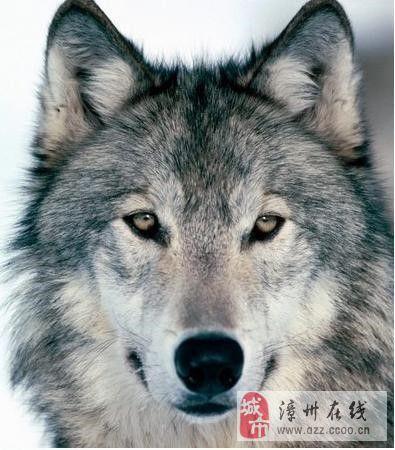 【励志格言】狼的五十条格言