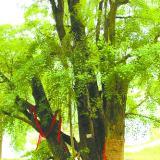 德江四棵千年古树抱成团