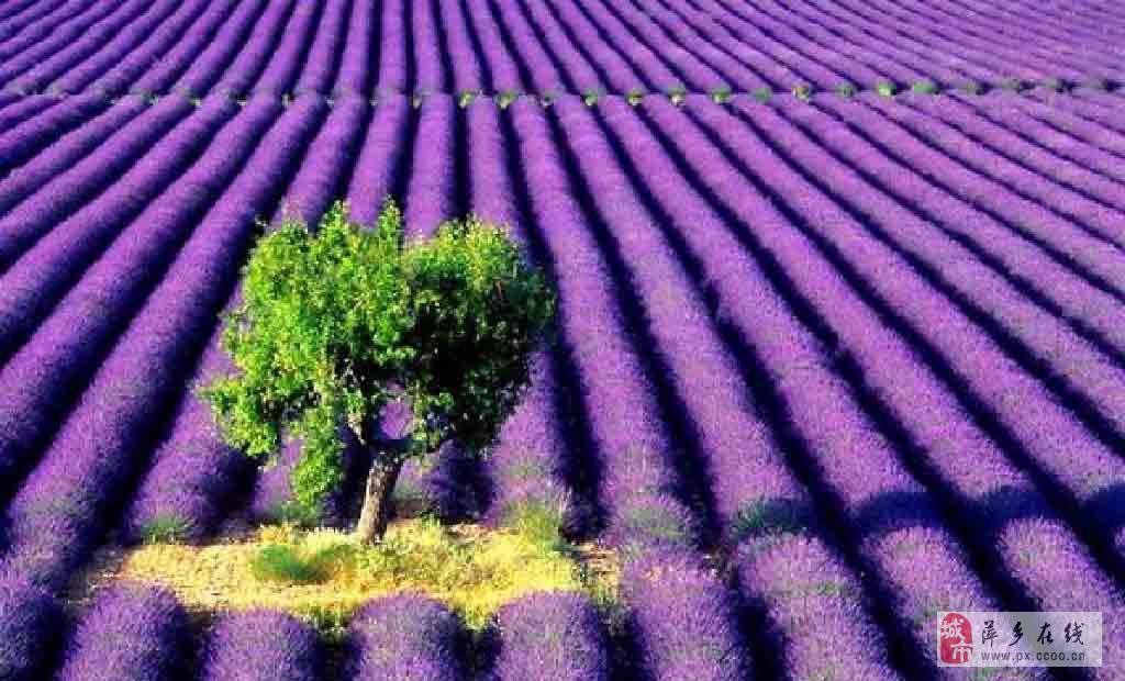 自由!纯玩!探寻紫色新疆!