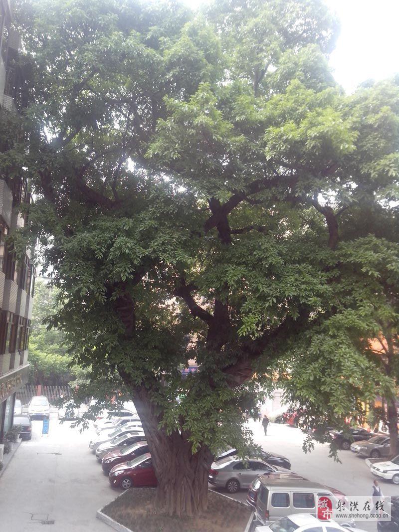 [分享][贴图][推荐]好大的树!你知道是哪吗?