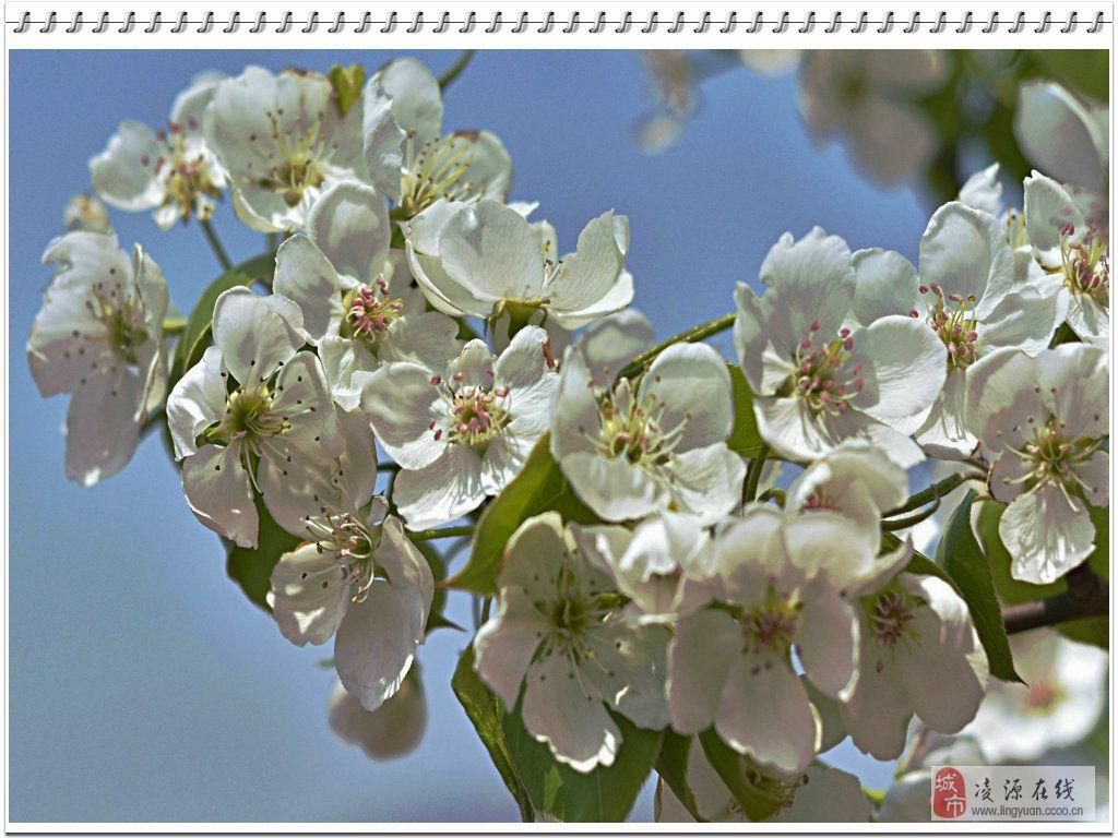 千树万树梨花开