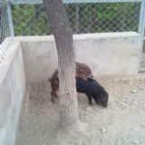 慢慢长大的小野猪