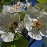 [原创]梨花开在我心中