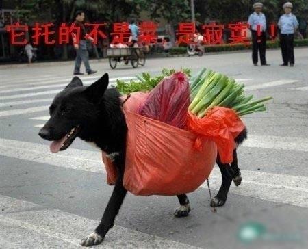 [灌水]代替主人驮菜的狗