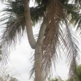 澄迈分叉椰子树