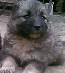 [原创]出售纯种高加索幼犬
