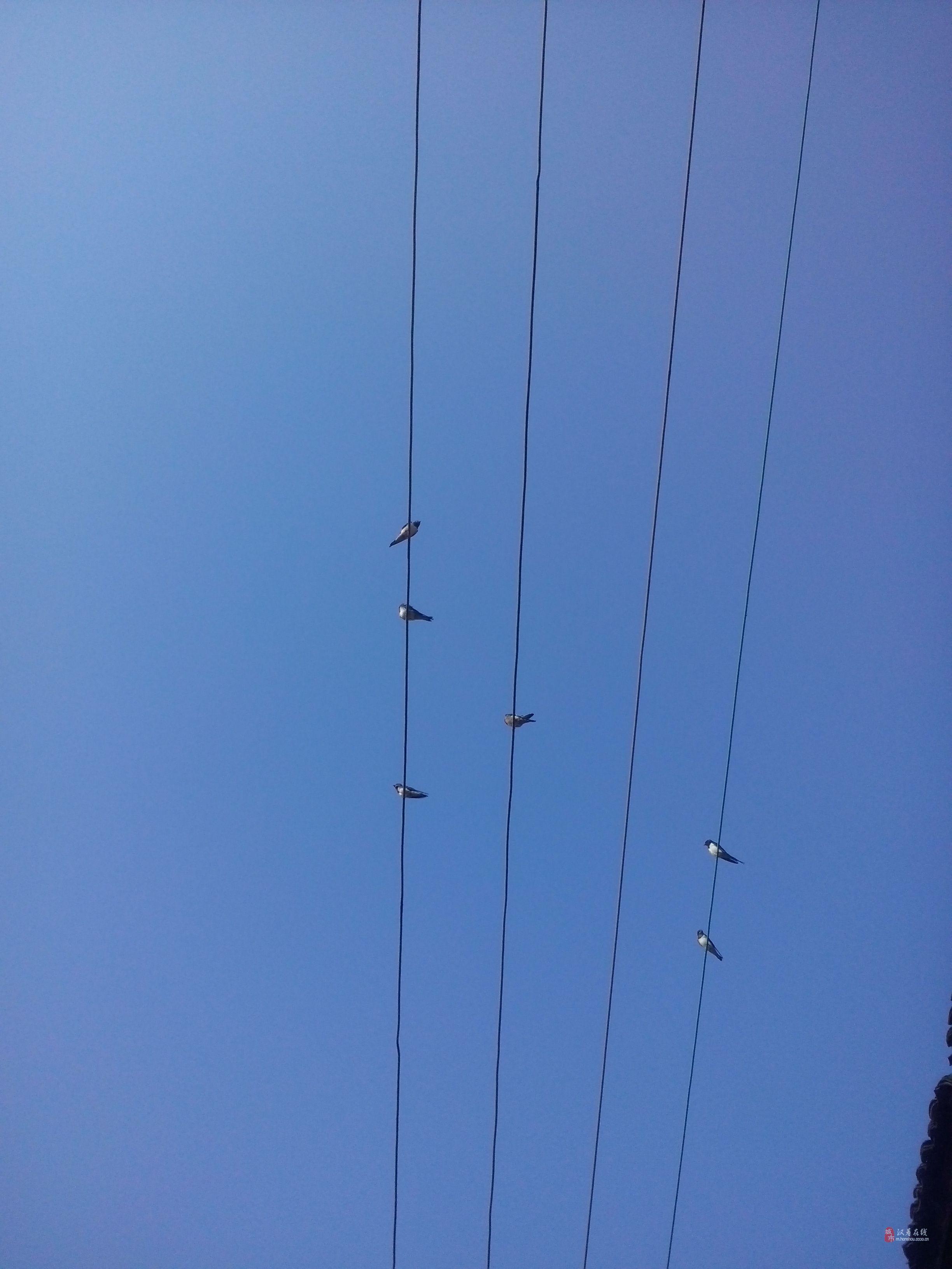 停在电线杆上的燕子