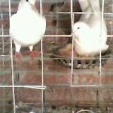 鸽   子