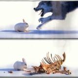 兔子是怎样吃掉狼的