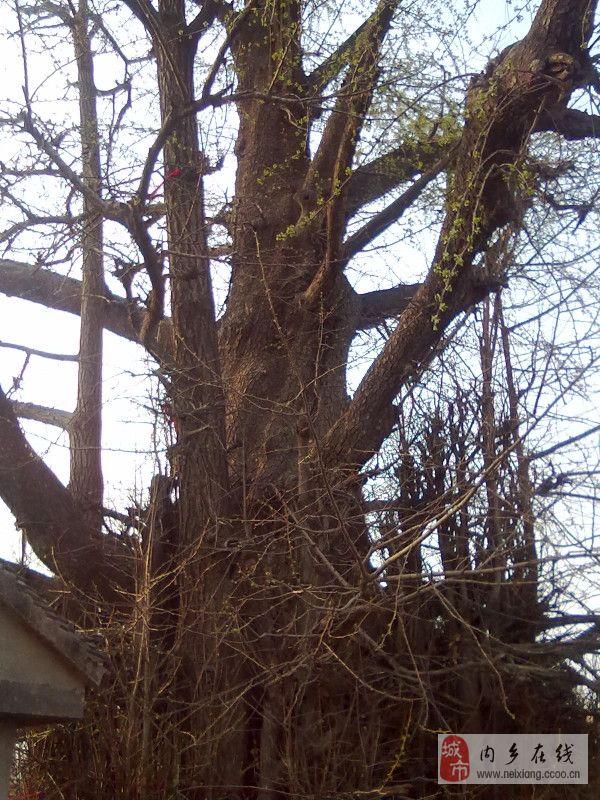 [分享]内乡赤眉千年银杏《神树》