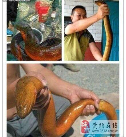 千年黄鳝精:水库抓获36斤巨型野生黄鳝(组图)