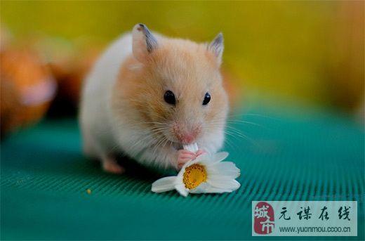 小仓鼠萌图片大全可爱