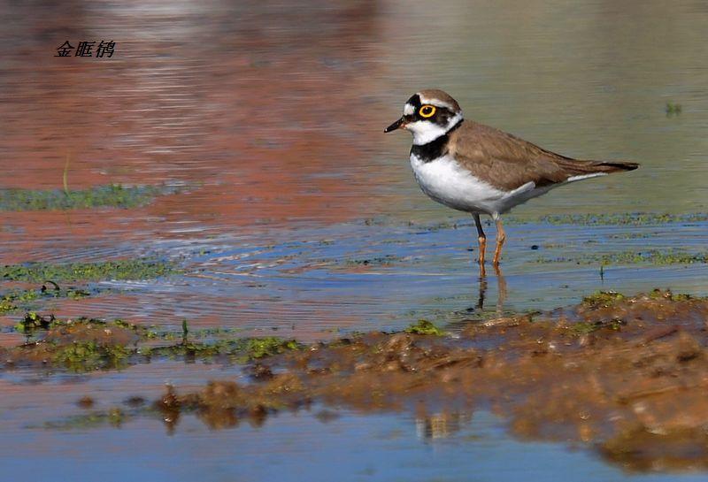 主题: [原创] 平泉境内野生鸟抓拍之二——水中岸边生活的鸟