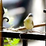 [原创]适马小黑打鸟——白头翁