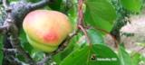 [原��]摘杏之杏�\