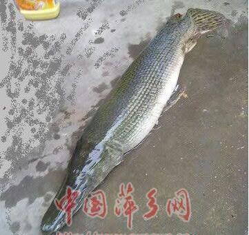 雀鳝是一种食肉鱼,食量大,很凶猛,属于世界十大凶猛淡水鱼类之一,其卵