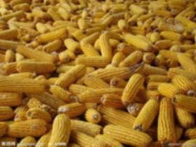内蒙古通辽开鲁县玉米价格维持稳定运行
