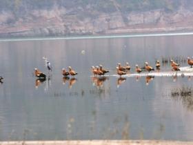 珍稀候鸟赤麻鸭现身汉江河畔