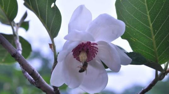 秦皇岛祖山风景区的1500亩天女木兰竞相盛开