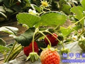 榆中草莓采摘每斤30元