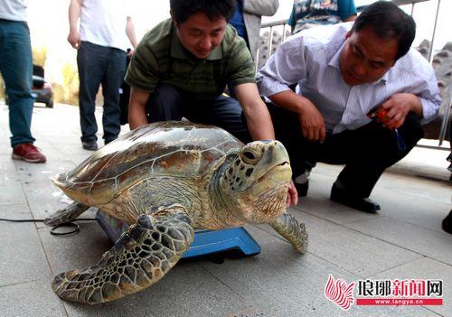 加之受水温,环境等方面的影响,海龟一直不愿进食,活动也很少.