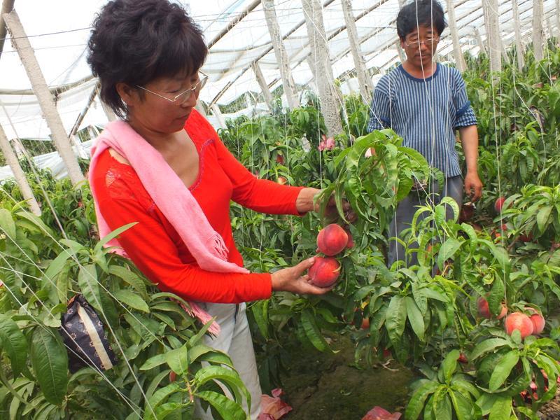 文安:油桃喜获丰收