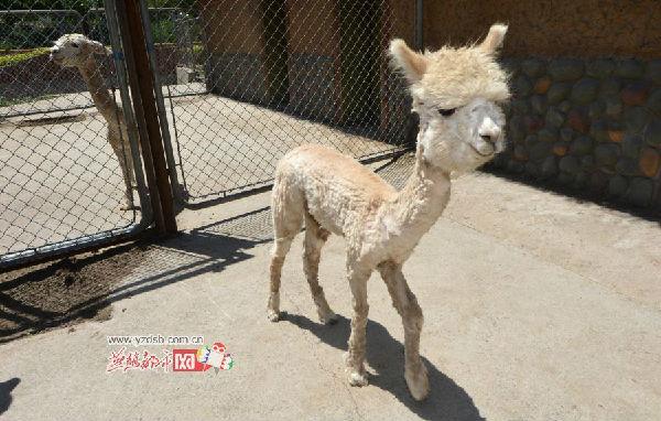 石家庄动物园神兽羊驼清凉美发(图)