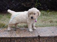 (已售出)出售金毛幼犬