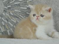 CFA賽級紅虎斑加菲貓異國短毛弟弟