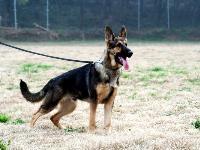 出售一条东德工作线母犬