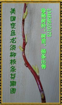 珍稀樹種-美國變色龍須柳