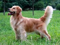余庆可有养金毛犬的?