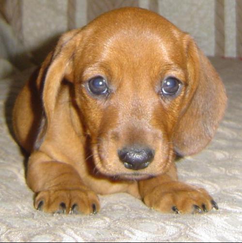 德国腊肠犬出售