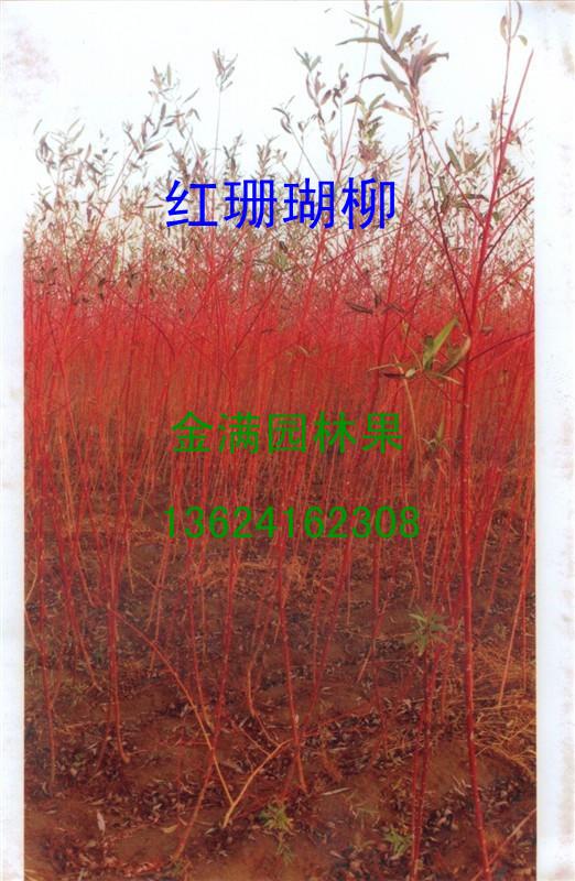 紅珊瑚柳苗
