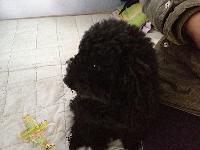 出售家养的泰迪狗狗一只