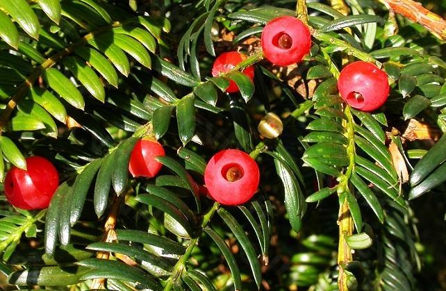 珙桐 红豆杉等