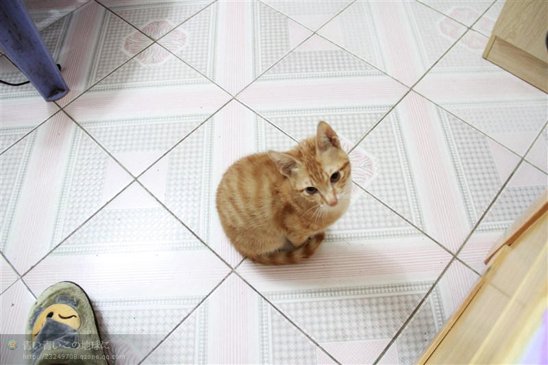 宠物公猫求母猫相亲